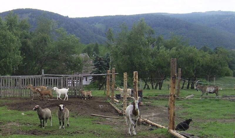 Ziegen in Kliny